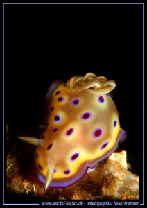 Nudibranch in the water's of Lembeh Strait... :O)... by Michel Lonfat 